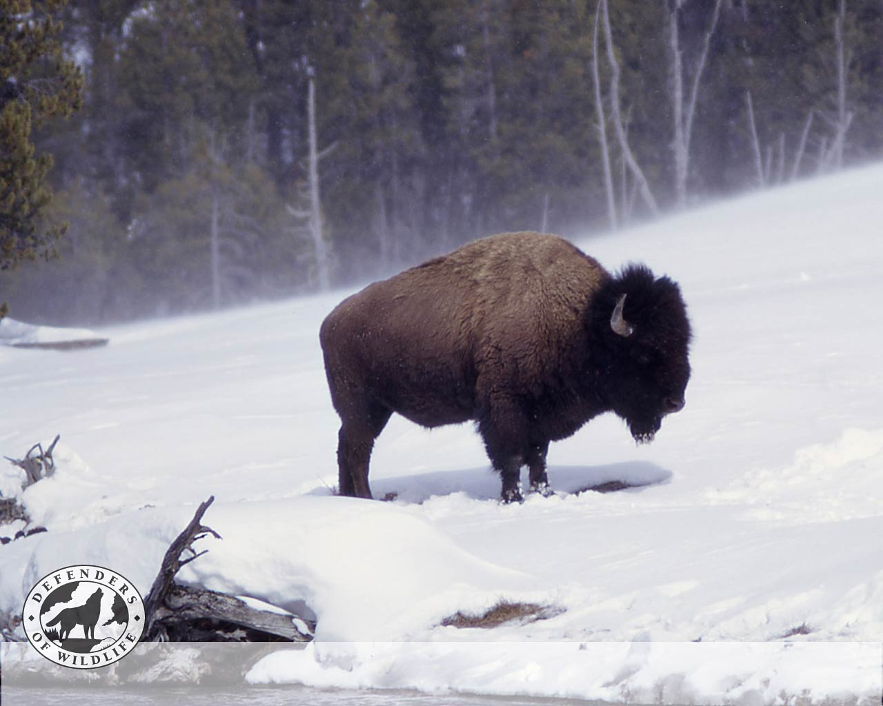 Animal Photo Wallpaper Bison Wallpaper And Background Animals Town