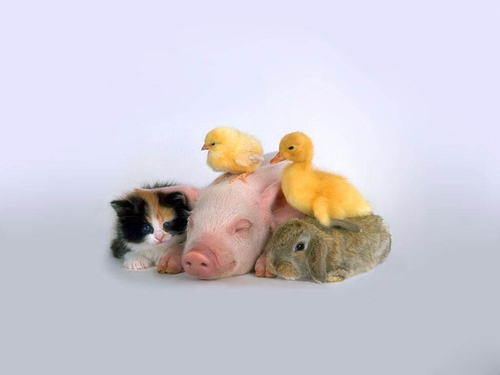Cute Piglets Wallpaper Chicken Wallpaper Animals Town