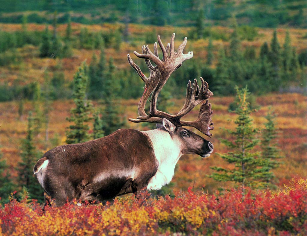 Fall Wallpapers For Desktop Idaho Moose Wallpaper Animals Town
