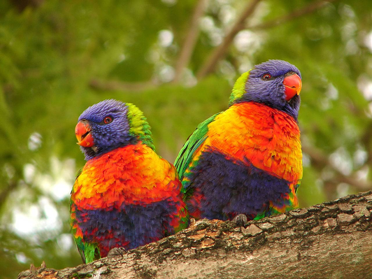 Cute Baby Pictures Wallpapers Free Download Free Rainbow Lorrekeet Wallpaper Download Animals Town