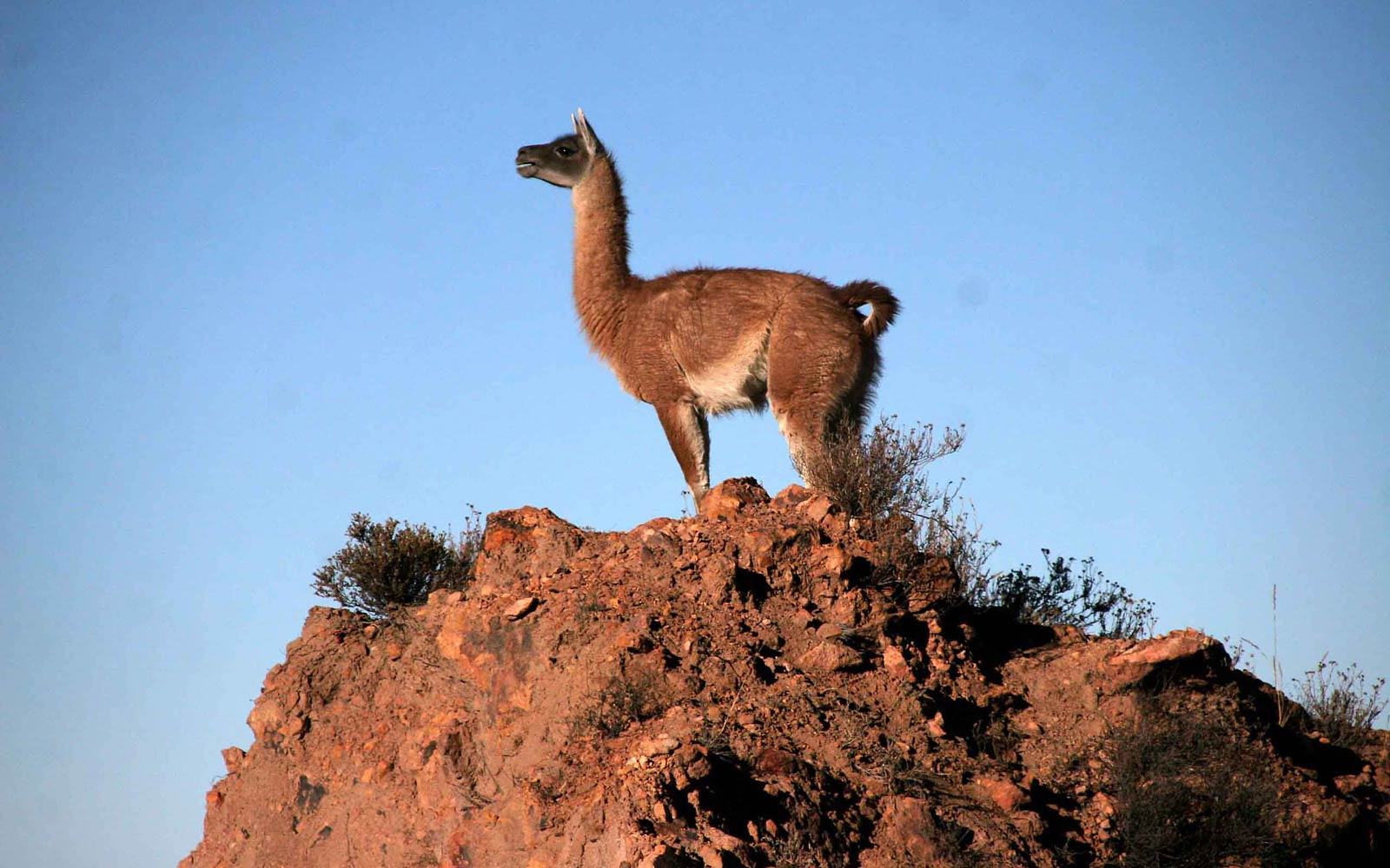 Www Hd Animal Wallpaper Com Vicuna Wallpapers Animals Town