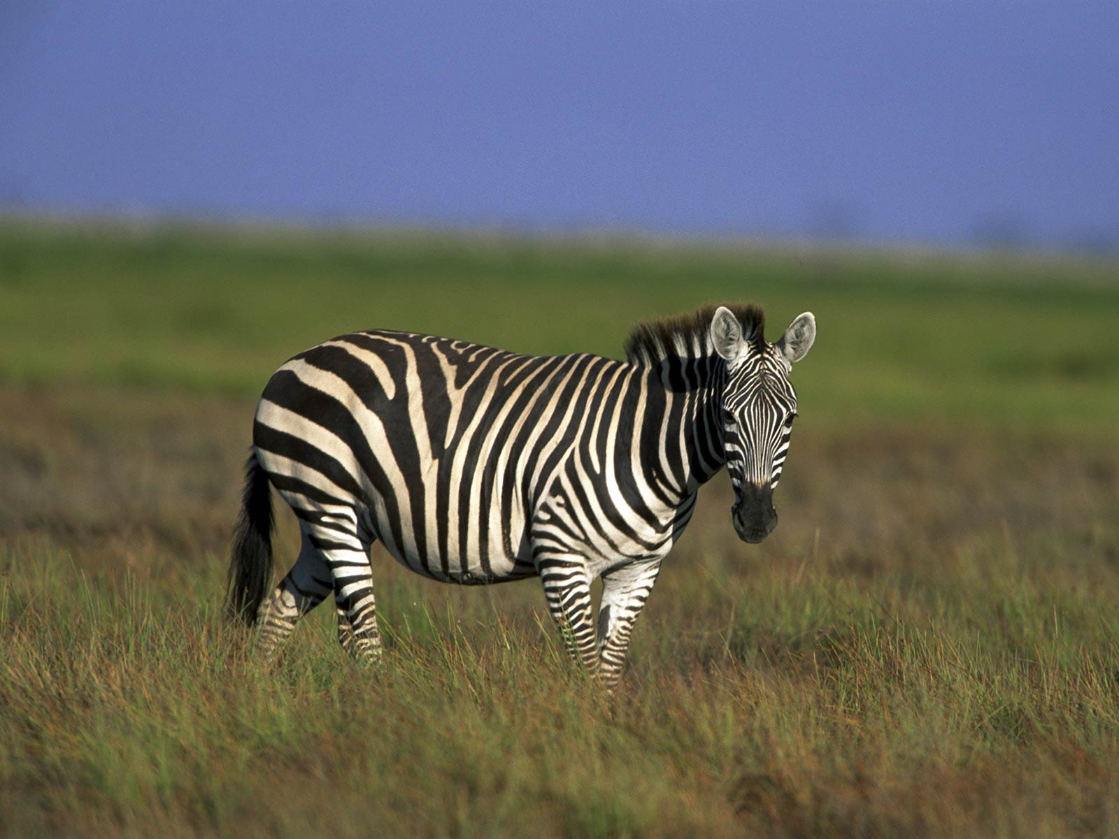 zebra wallpaper - animals town