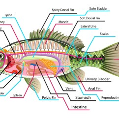 Labelled Diagram Of A Tilapia Fish Eaton Fuller 9 Speed Transmission Fishes Characteristic Types Fresh