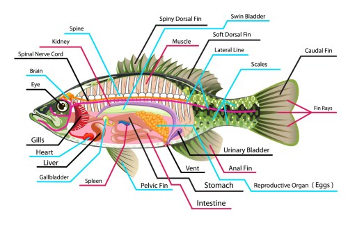small resolution of internal anatomy