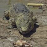 Animal Allies 209 crocodile