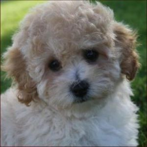 poochon dog breed information and facts