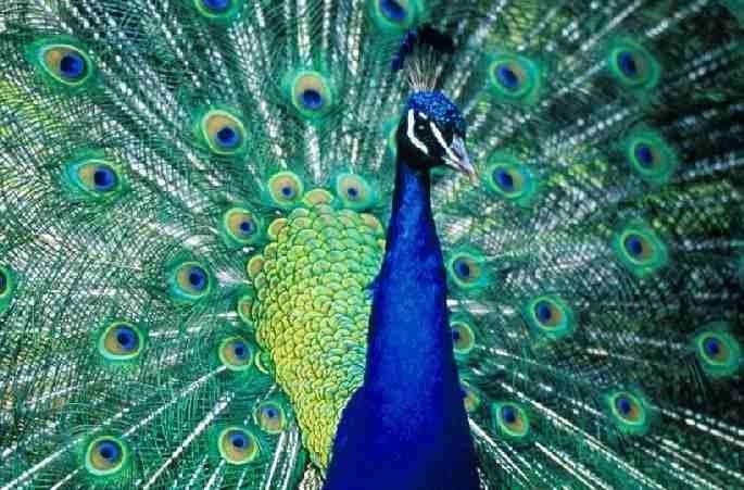 le paon bleu