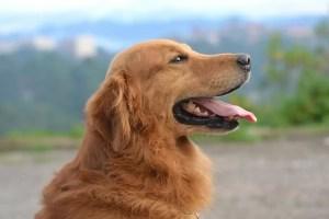 Quelle est la meilleure race de chien pour la randonnée ou le plein air