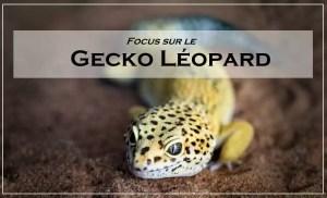 focus sur le gecko léopard