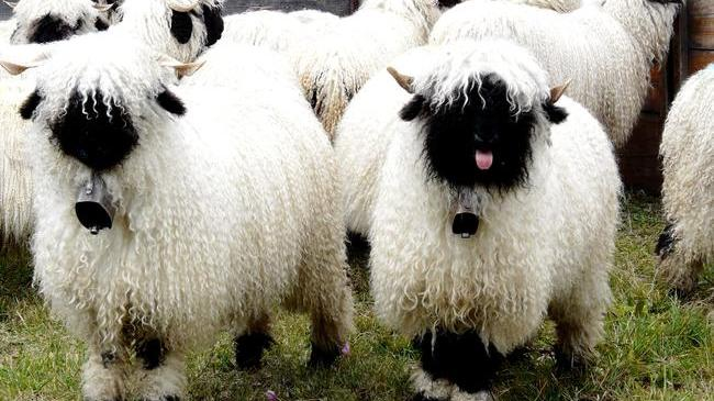 Resultat d'imatges de mouton de valais