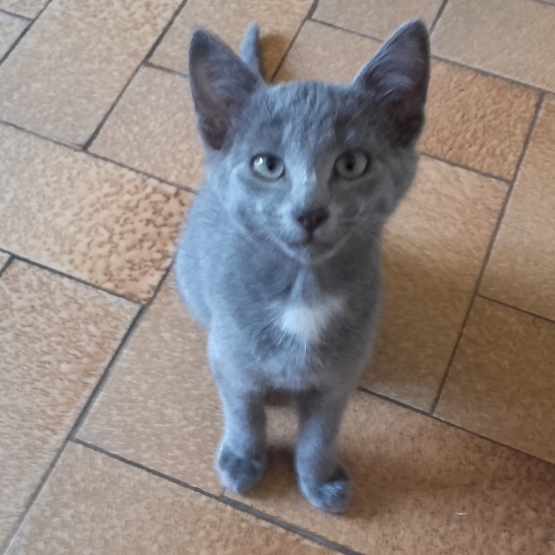 Donne chaton gris de 5 mois DeuxSvres 79  GRATUIT sur Animoznet