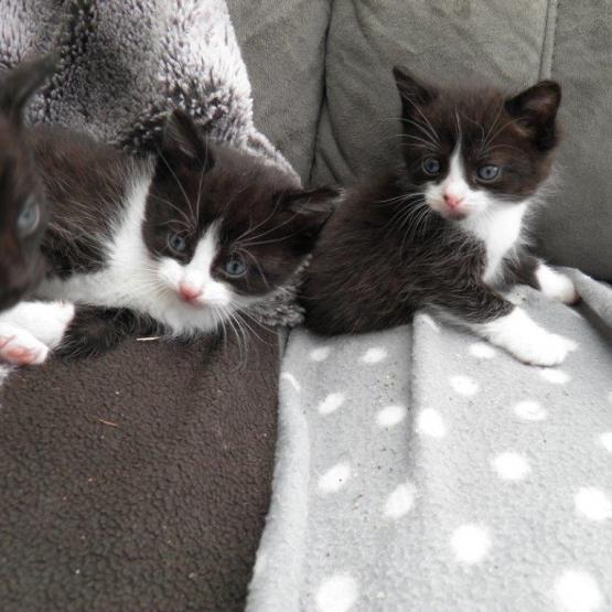 Donne chaton noir et blanc Manche 50  GRATUIT sur Animoznet