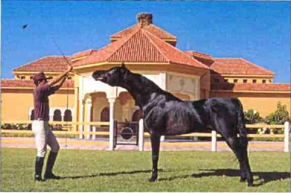 pur sang-arabe cheval 2