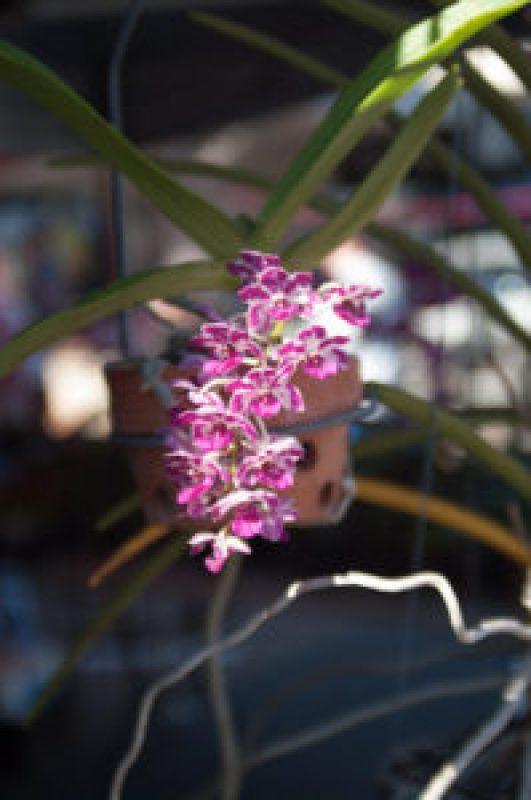 Orchid at the Cleveland Markets, Brisbane QLD Australia 20150802-VPR00327.jpg