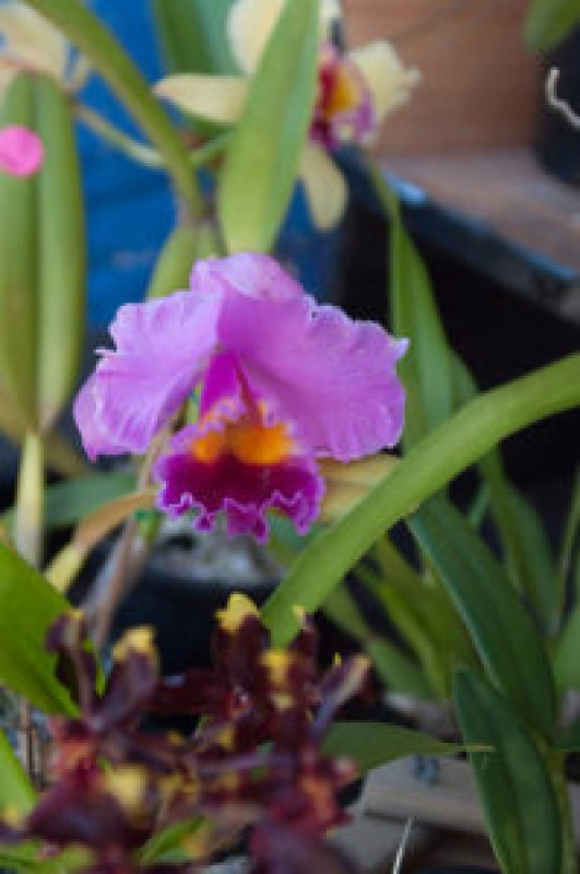 Orchid at the Cleveland Markets, Brisbane QLD Australia 20150802-VPR00330.jpg