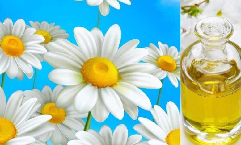 صورة بها زيت بابونج وزهرات من البابونج ذات ألوان ذاهية