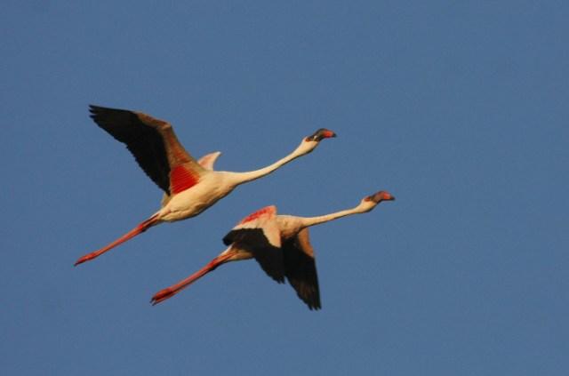 Lesser Flamingo2