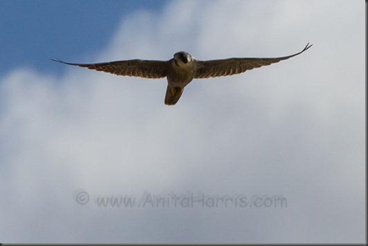 IMG_0378_Peregrine Falcon, - Kealia Ponds, Maui