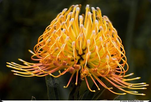 Protea Blooms in Kula Botanical Gardens  -  © Anita Harris -  www.AnitaHarris.com