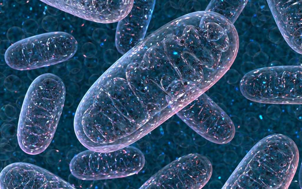 mitochondria, cell powerhouses