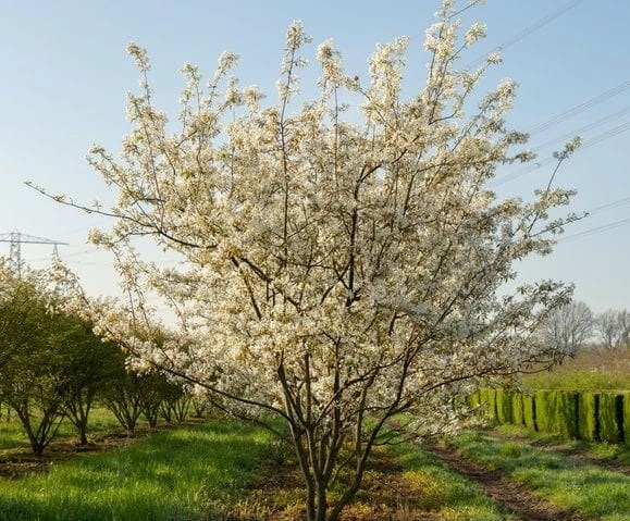 Multistem Amelanchier lamarckii in full bloom (Photo- Ebben Nurseries)