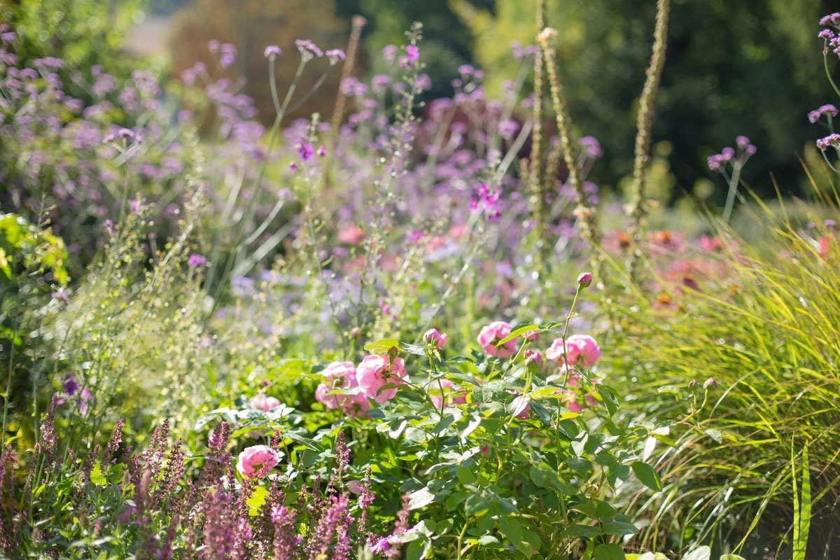 Pink roses in perennial border designed by Ann-Marie Powell Gardens for new garden design in Hampshire