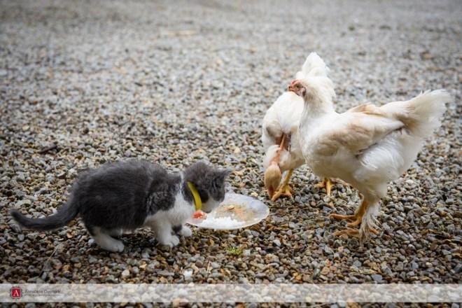 Mignon et les poulets
