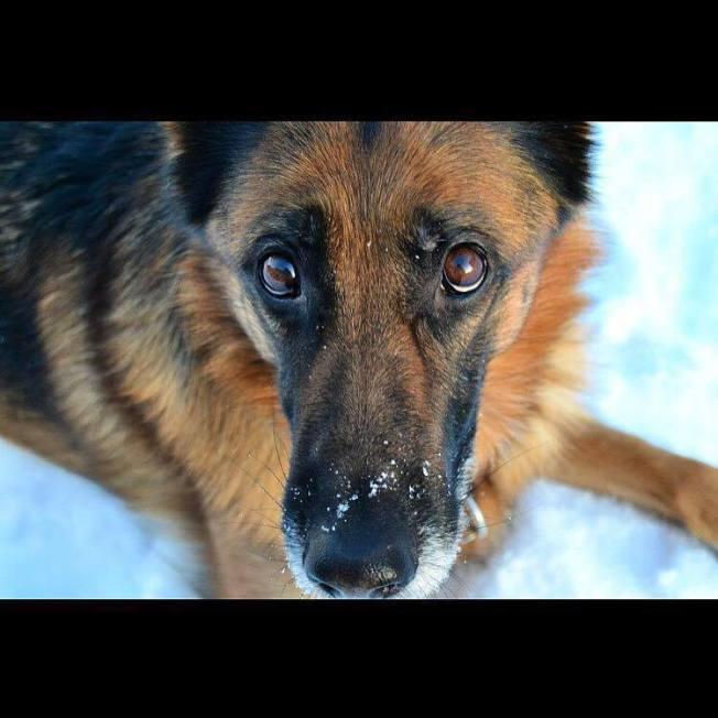 Foto> Idas första ledarhund, schäfertiken Lana.