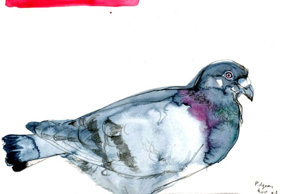 Drawing of a racing pigeon.