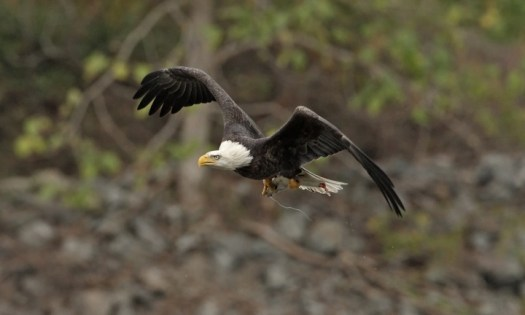 Bald eagle at Conowingo with monofilament (fishing line) in talons. Photo by Chris Brennan.
