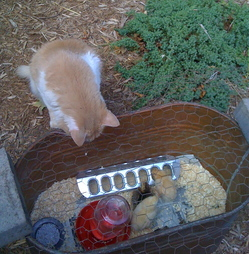 Borden - Cat looking at baby chicks