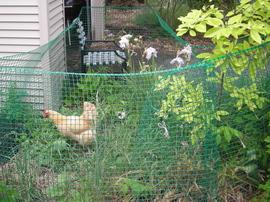 Borden - Chicken in area between driveways