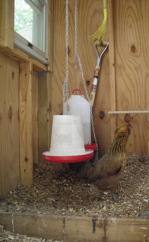 Borden - chicken coop with dirty litter