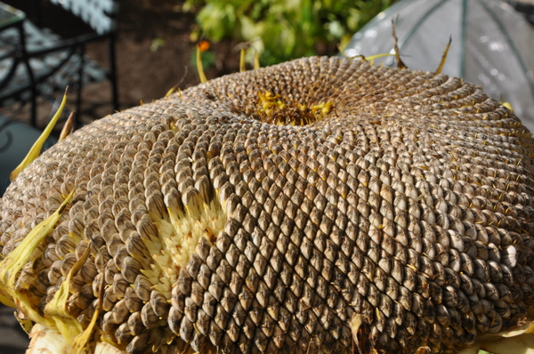 Borden - drying sunflower head with seeds