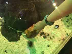 Sea Life Michigan Aquarium - Touch Tank