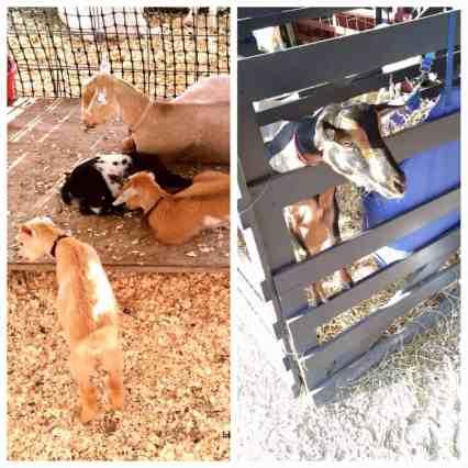4-h-county-fair-goats