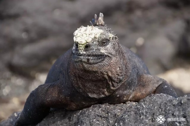 A male Galápagos marine iguana warming itself on a lava rock after feeding on the algae banks