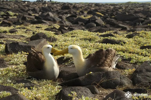 A pair of waved albatross during their mating ritual. They don't change partners throughout their whole life