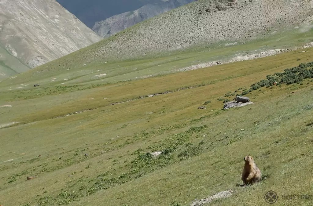 A marmot looking out for eagles in the high mountains of Kyrgyzstan