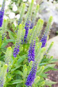 Anne Roberts Gardens Premier-landscaping-tips_veronica-200x300