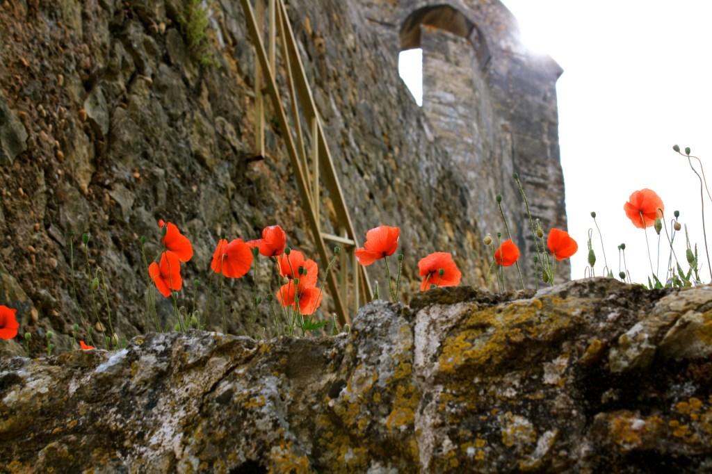 Poppies near the castle in Lisbon, Portugal