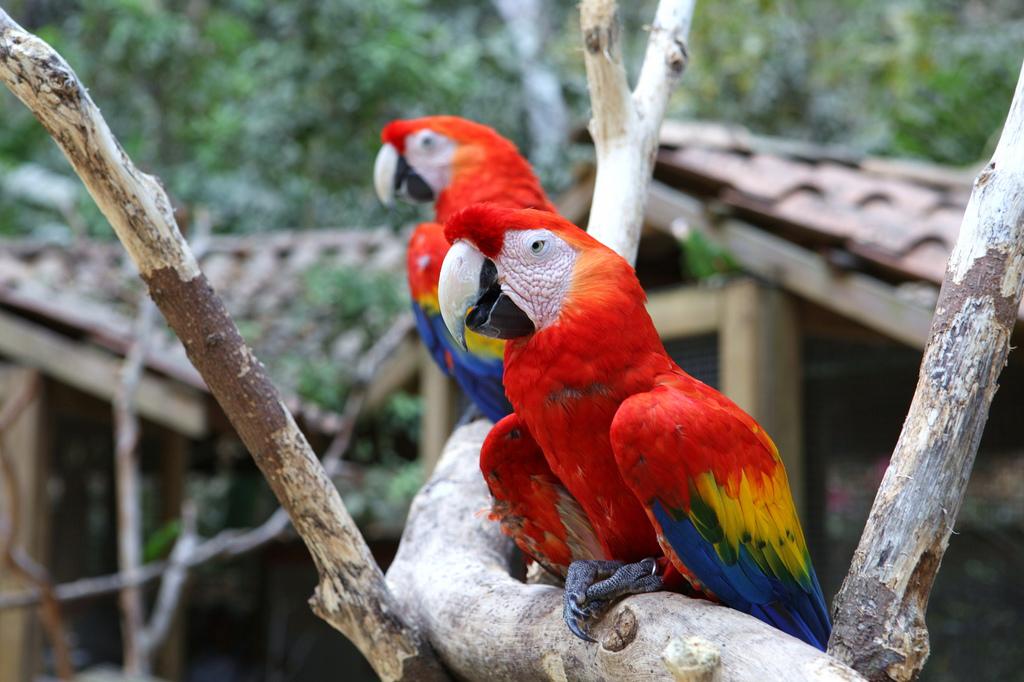 Honduras_Macaw_Bird_Park