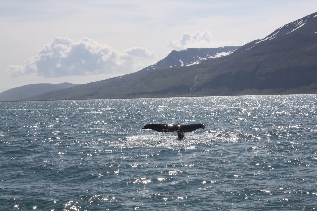 whale_husavik