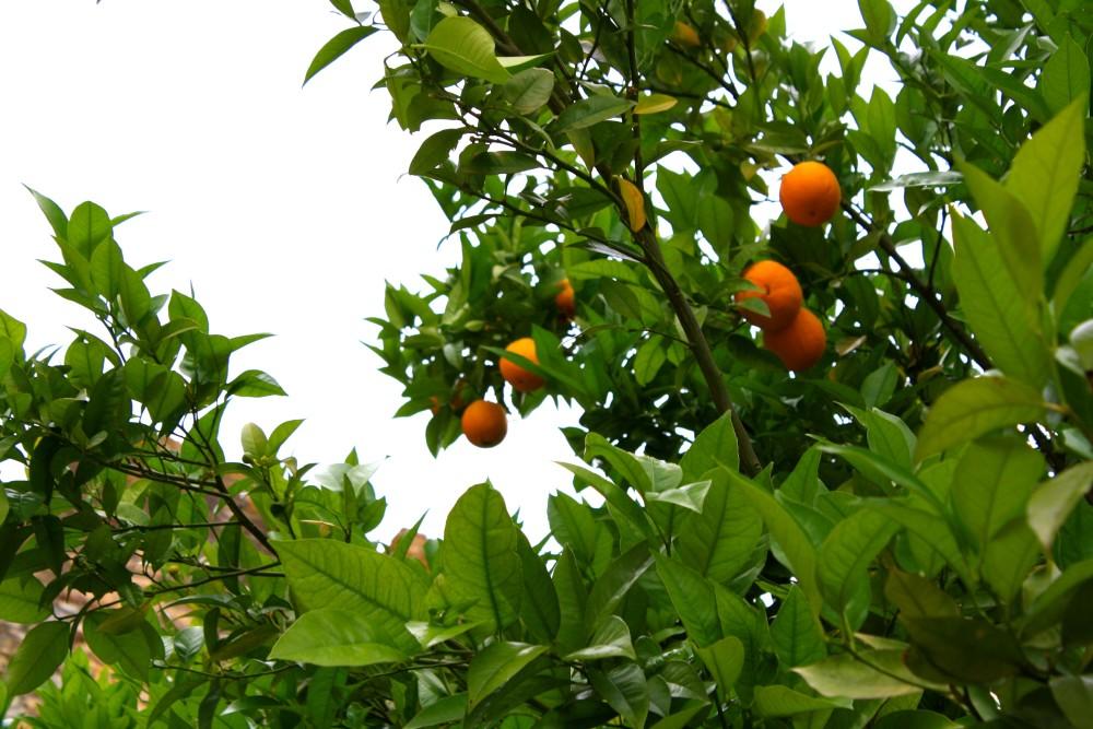 Orange Tree at the Covento de Cristo in Tomar