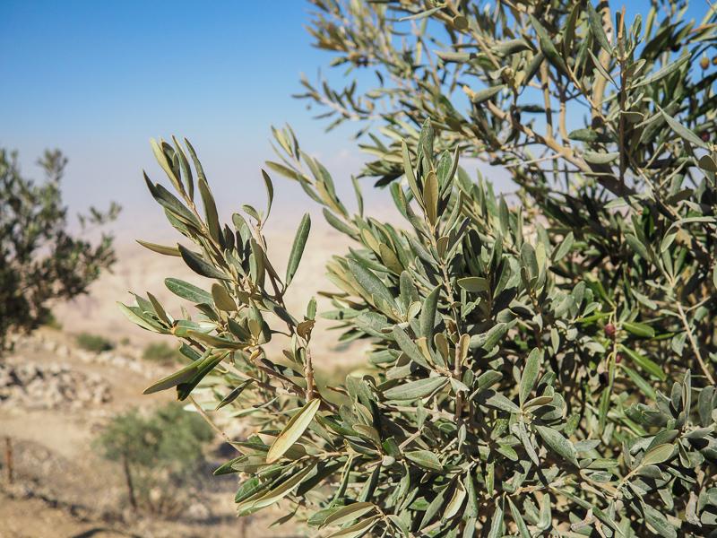 Oliviers sur le Mont Nebo en Jordanie.