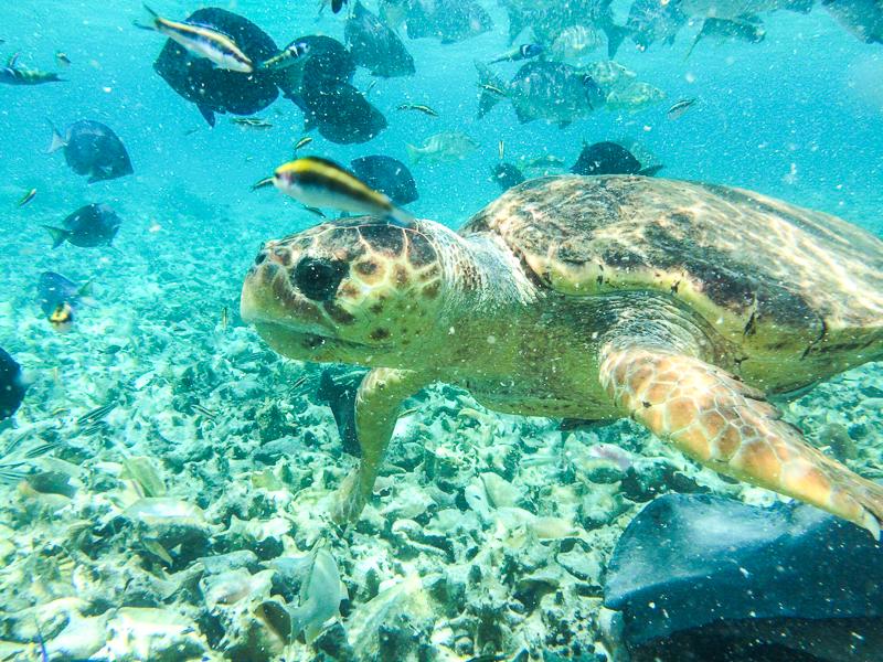 Tortue vue en plongée près de Caye Caulker au Belize