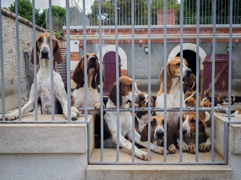Plus de cent chiens vivent au château de Cheverny en France