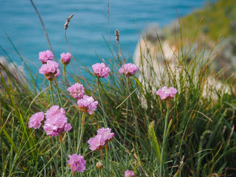Fleurs sauvages sur les falaises d'Étretat en Normandie