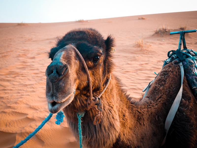 Mon chameau lors de ma visite du désert du Sahara au Maroc