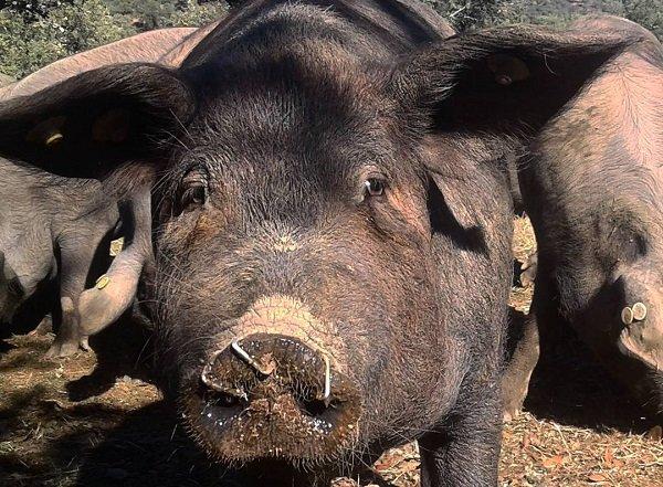 jamon pig